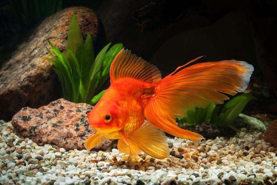 Аквариум с золотой рыбкой фото